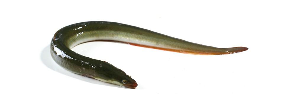 Anguila maresa